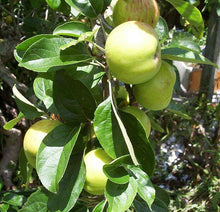Gravenstein Apple Tree - One of the largest and hardiest apple trees! (2 years old and 3-4 feet tall.)