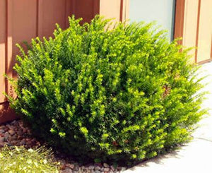 Dark Green Spreading Yew (1 Gallon) - Densely lush evergreen foliage makes for an excellent low hedge or accent plant.