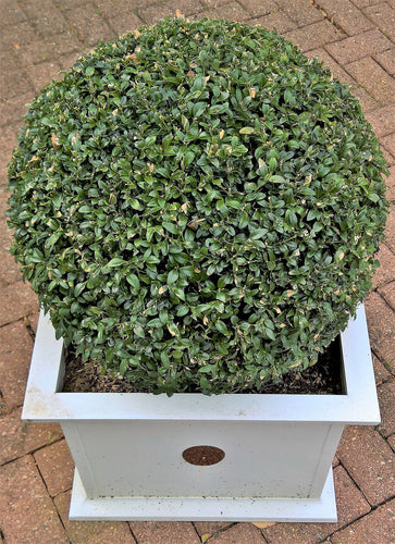 Green Velvet Boxwood (1 Gallon) - Beautiful fine texture, natural rounded form, evergreen color.