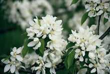 Spring Snow Flowering Apple Tree - Fruitless crabapple tree, elegant pure white flowers without the mess! (2 years old and 3-4 feet tall.)