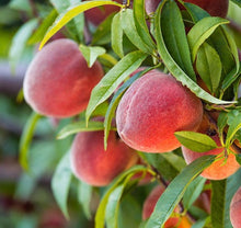 Red Haven Peach Tree - Grow a Dessert Peach and its remarkable flavor! (2 years old and 3-4 feet tall.)