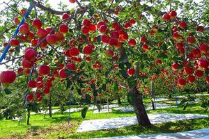 Fuji Apple Tree - World renowned for its sweetly rich flavor! (2 years old and 3-4 feet tall.)