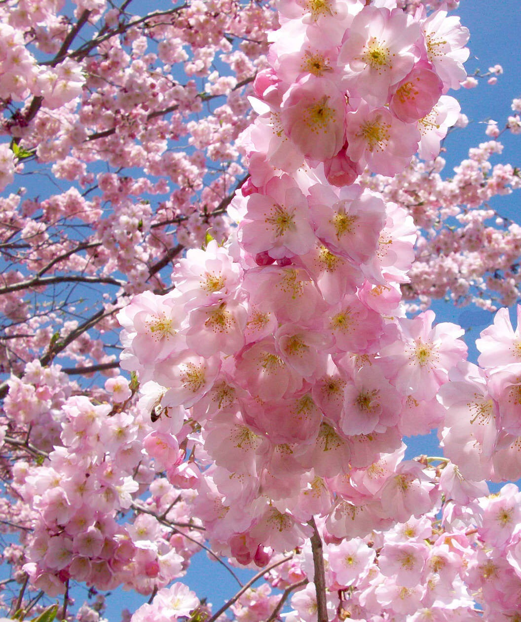 Accolade Cherry Blossom Tree Translucent Seashell Shaped Blossoms Online Orchards