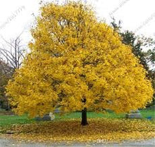 Norway Maple Tree - Most cold hardy maple tree and among the fastest growing! (2 years old and 3-4 feet tall.)