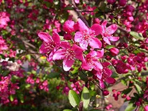 Prairie Fire Crabapple Tree - Uniquely colored magenta blossoms in spring give way to light purple foliage in summer. (2 years old and 3-4 feet tall.)
