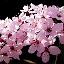 Thundercloud Flowering Plum Tree - Highly fragrant flowers and dark purple leaves! (2 years old and 3-4 feet tall.)