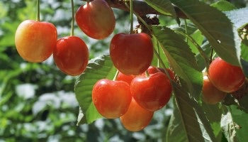Royal Ann Cherry Tree Up To 50 Pounds Of Sweet Blonde Cherries