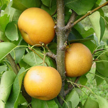 Dwarf Chojuro Asian Pear Tree - Humongous butterscotch flavored fruit! (2 years old and 3-4 feet tall.)