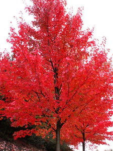 Autumn Blaze Maple - Brightest red of any tree in the fall! (2 years old, 3 to 4 feet tall.)