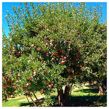 Winesap Apple Tree - Brightly colored, all purpose apple with rich flavor and history!  (Bare-Root, 3-4 feet tall, 2 years old)