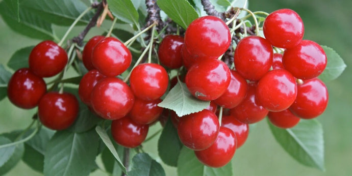 Montmorency Pie Cherry Tree - Worlds most popular pie cherry! (2 years old and 3-4 feet tall.)