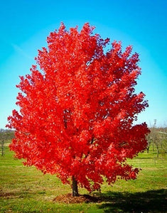 October Glory Maple Tree - Best and brightest Maple for warm climates! (2 years old and 3-4 feet tall.)