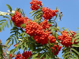 European Mountain Ash Tree (Rowan) - Bright orange berries grow in huge clusters!