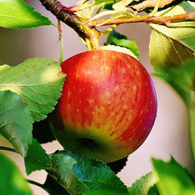 Prairie Spy Apple Tree - Cold hardy and autumn-ripening. (2 years old and 3-4 feet tall)