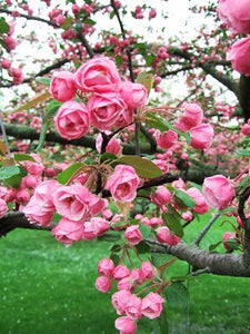 Brandywine Crabapple Tree - Miniature rose flowers! (2 years old and 3-4 feet tall.)