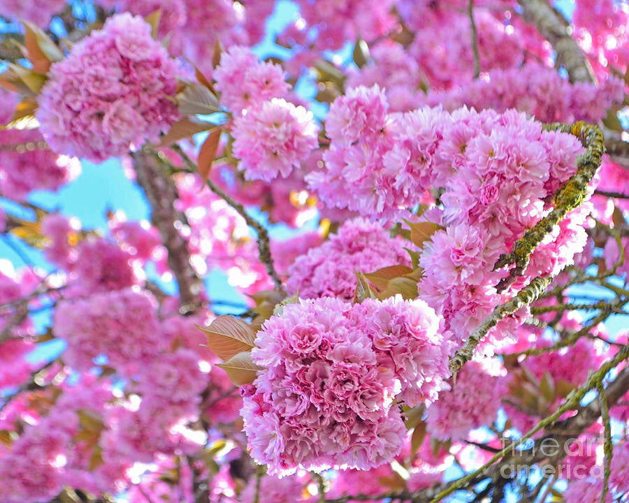 Kwanzan flowering cherry tree beautiful large bright pink globes kwanzan flowering cherry tree beautiful large bright pink globes of blossoms mightylinksfo