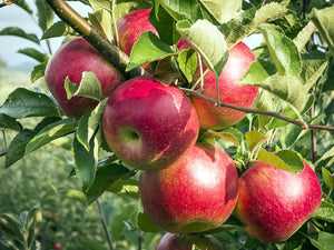 Dwarf Red McIntosh Apple Tree - World-renowned flavor, cold hardy, and delicious! (2 years old and 3-4 feet tall.)