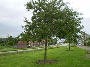 Honeylocust Tree - Perfect native tree for a natural barrier. (2 years old and 3-4 feet tall.)