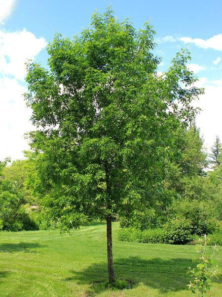 American White Ash Tree - An endangered and beautiful native tree. 2 years old and 3-4 feet tall!