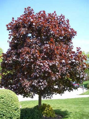 Crimson King Maple Tree - Dark purple foliage that glows in the sun! (2 years old and 3-4 feet tall.)