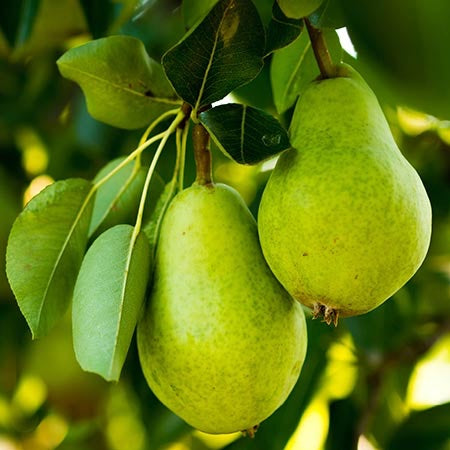 D'Anjou Pear Tree - Citrusy flavor and aroma make D'Anjou famous worldwide! (2 years old and 3-4 feet tall.)