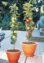 Golden Sentinel Limbless Apple Tree - Grows double the fruit of a regular apple tree in half the time! (2 years old and 2-3 feet tall.)