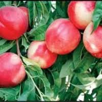 Snow Queen White Nectarine Tree - Aromatic, uniquely flavored, rare color. (2 years old and 3-4 feet tall)