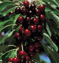 Lapins Cherry Tree - The next best dark-red sweet cherry! (2 years old and 3-4 feet tall)