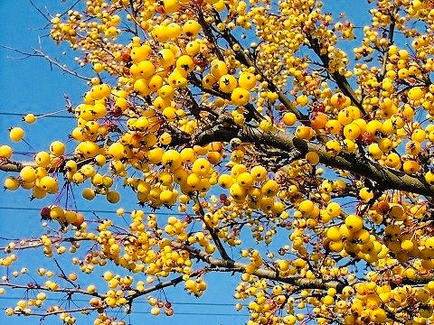 Harvest Gold Crabapple Tree - Golden fruit lights up landscapes well into winter. (2 years old and 3-4 feet tall.)