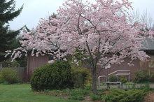 Accolade Cherry Blossom Tree - Translucent seashell shaped blossoms. (2 years old and 3-4 feet tall.)