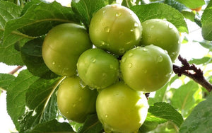 Green Gage Plum Tree - Rare green dessert plum with endless culinary uses! (2 years old and 3-4 feet tall.)