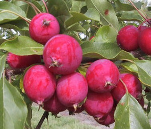 Dolgo Crabapple Tree - Best crabapple for jelly and baking! (2 years old and 3-4 feet tall.)