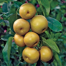 Shinseiki Asian Pear Tree - Heavy producer of sweet snack-sized fruit, thrives everywhere from tropical to cold climates! (2 years old and 3-4 feet tall.)