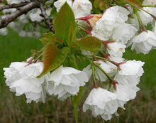 Mt. Fuji Flowering Cherry Tree - Large and graceful pure white cherry blossoms. (2 years old and 3-4 feet tall.)