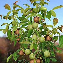 English Walnut Tree - Heart healthy, antioxidant rich natural treats! (2 years old and 3-4 feet tall.)