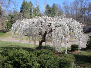 Snow Fountain Weeping Cherry Tree - Pure white blossoms flow like a fountain! (2 years old and 4 feet tall.)