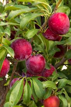 Santa Rosa Plum Tree - Exceptionally flavored candied plums! (2 years old and 3-4 feet tall.)