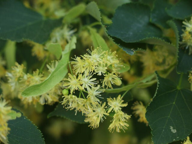 Limewood Linden Tree Instant Shade And Fragrant Honeybee