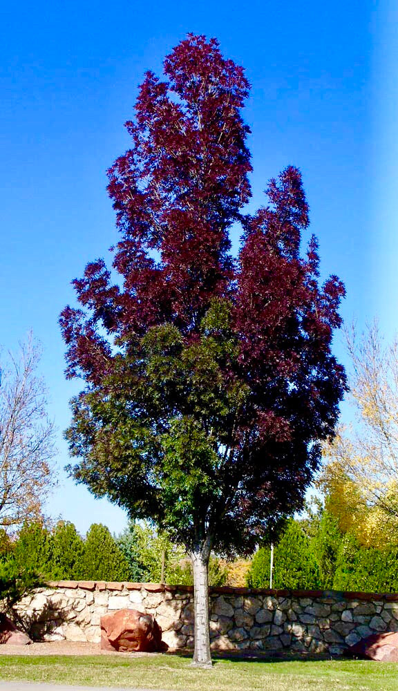 Purple Autumn Ash Tree - Deep autumn color, minimal leaf raking. (2 years old and 3-4 feet tall.)