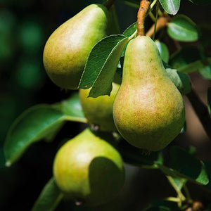 Dwarf Bartlett Pear Tree - The golden standard of pear flavor, grown right in your backyard! (2 years old and 3-4 feet tall.)