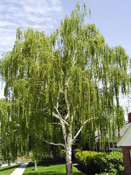 Weeping White Birch - Gracefully weeping limbs give way to pure white bark in winter! (2 years old and 3-4 feet tall.)