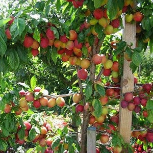 Beauty Plum Tree - Delicious, snack sized, bright red plums first year! 2 years old and 3-4 feet tall!