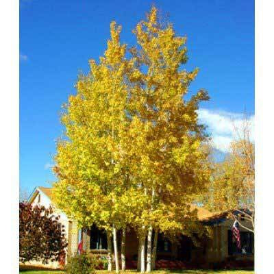 Quaking Aspen Tree - Among the fastest growing trees!  (2 years old and 3-4 feet tall.)