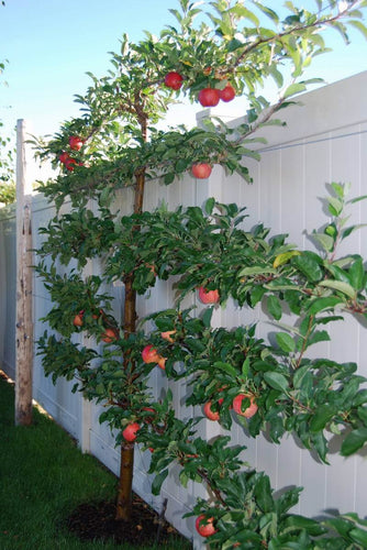 6-Apple Espalier Tree -  A different apple grows on each limb!