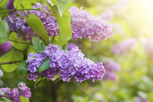 Royal Purple Lilac Flowering Shrub - Highly fragrant, large colorful blossoms, grows to fit available space. (2 years old, 2-3 foot shrub.)