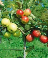 3-in-1 Apple Jubilee Tree - Different apple varieties grow on each of the 3 limbs! (2 years old and 3-4 feet tall.)