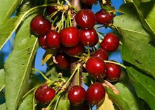 Van Cherry Tree - Among the heaviest producers of sweet cherries! (2 years old and 3-4 feet tall.)
