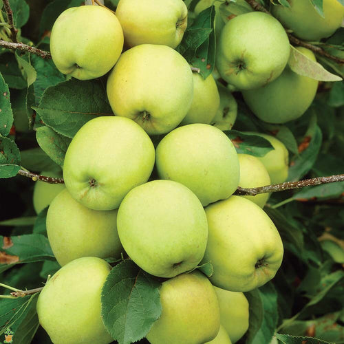 Golden Delicious Apple Tree - Sweettart flavor with a crisp aromatic texture. (2 years old and 3-4 feet tall.)