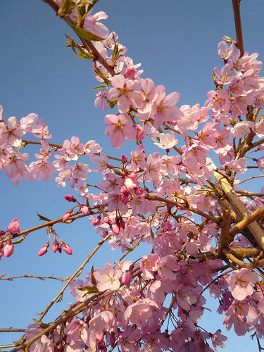 Autumnalis Cherry Blossom Tree - Blooms rose-pink twice a year in spring and autumn! (Bare-Root, 2 years old and 3-4 feet tall)