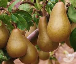 Dwarf Bosc Pear Tree - Cinnamon brown pears are some of the sweetest and most hardy! (2 years old and 3-4 feet tall.)